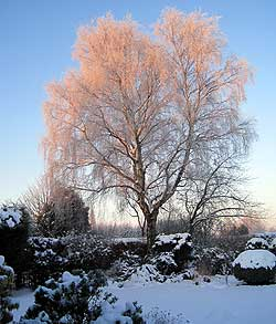 A photo of sunrise over silver birch cast in frost taken in Woodford, Cheshire by David McLeod