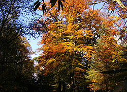 Beech trees on Alderley Edge taken by Evelyn Frearson