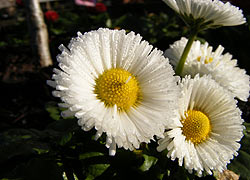 White Daisies taken by Evelyn Frearson